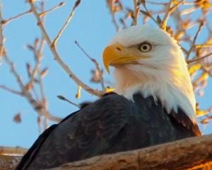 Bald Eagle -2