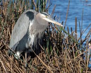 Blue Heron - 1