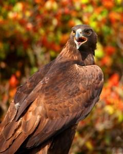 Eagle - 3