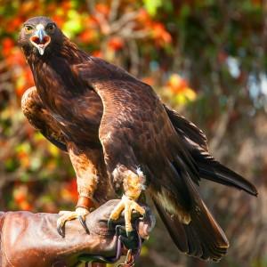 Eagle - 5