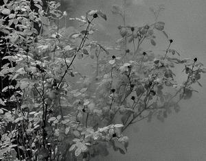 Kreinberg - Steam Rose