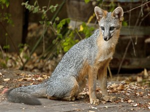 My backyard fox